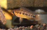 WC Apistogramma cf. commbrae (adulto y alevines)