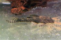 Hypostomus sp. L 346