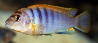 "Labidochromis sp. ""Hongi"" Red Top F2"