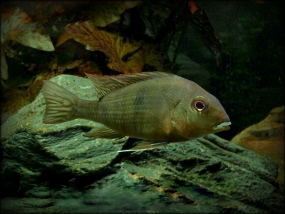 "Geophagus sp. Tapajos ""Red head"""