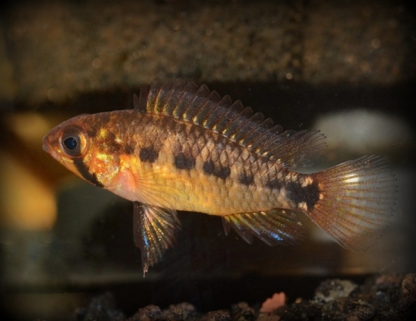 Apistogramma commbrae