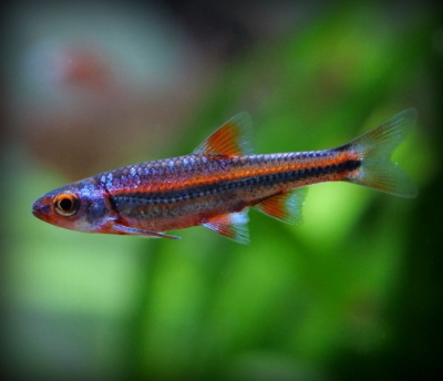 Notropis chrosomus (Barbo Arcoiris)
